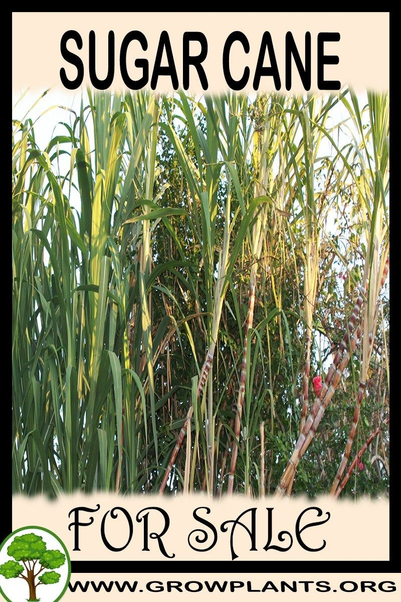 Sugar Cane For Plants Easy