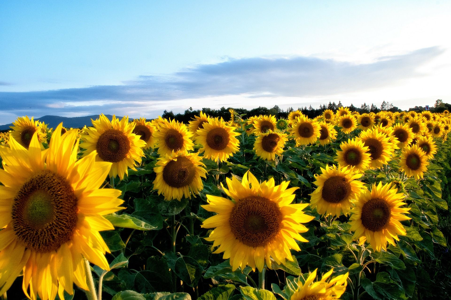 sunflower wallpapers hd pictures one hd wallpaper pictures hd wallpapers pinterest sunflower wallpaper and wallpaper