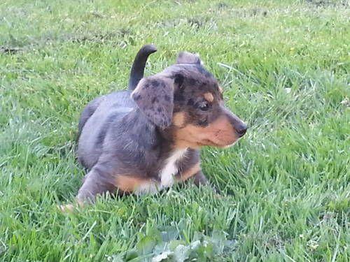 Dappled Dachshund Chorkie Mix Dapple Dachshund Puppies Dogs