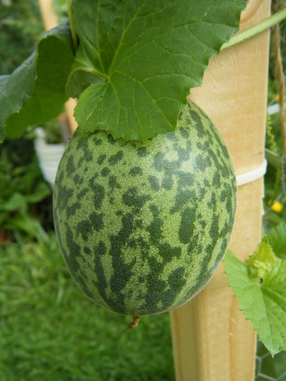 Tigger melon grow your own pinterest tigger veggies and