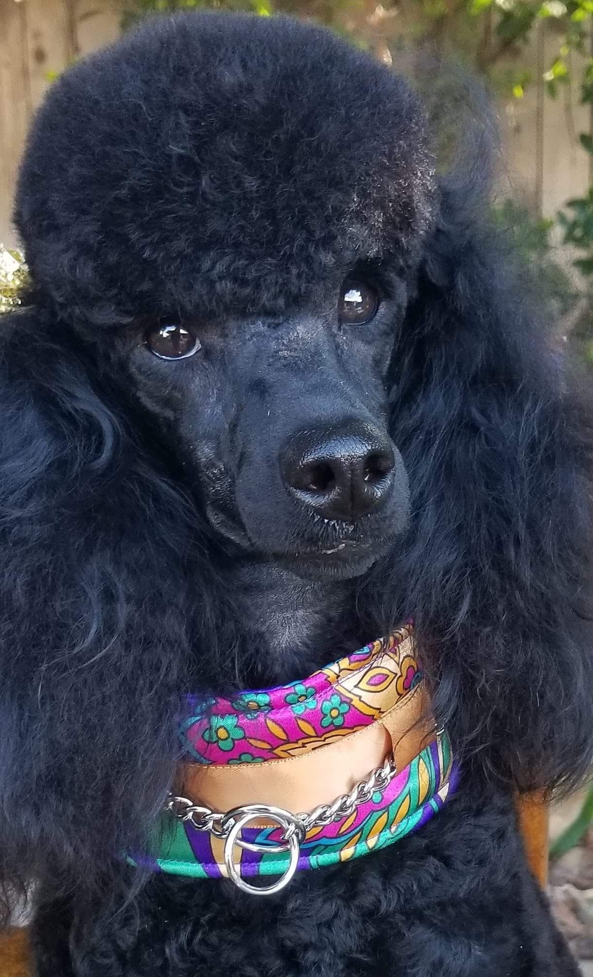 Pin By Hanna Lucero On Grooming Poodle Puppy Dog Breeds