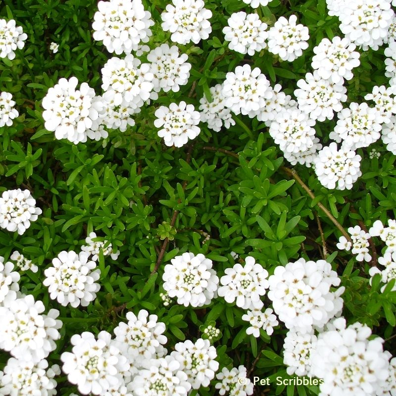 Candytuft A Garden Must Have Live Creatively Inspired Landscaping With Roses Front Yard Plants Plants