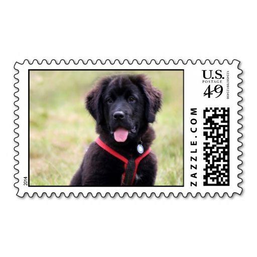 Newfoundland Dog Puppy Beautiful Cute Photo Postage Zazzle Com
