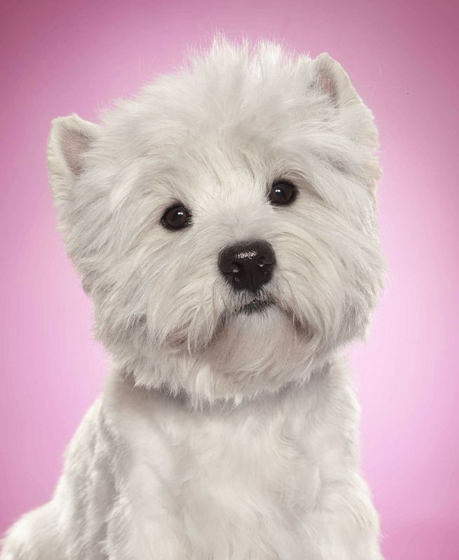The Noble West Highland Terrier Aka Cesar Dog Westies Cute Dogs