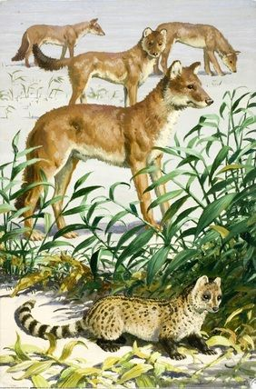 Rasse (Lesser Oriental Civet) and Dhole - Asian Animals ..