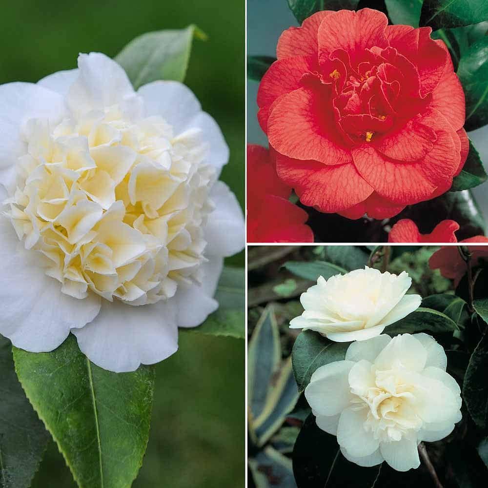 Camellia Japonica Roger Hall camellia japonica | plants, camellia, flowers