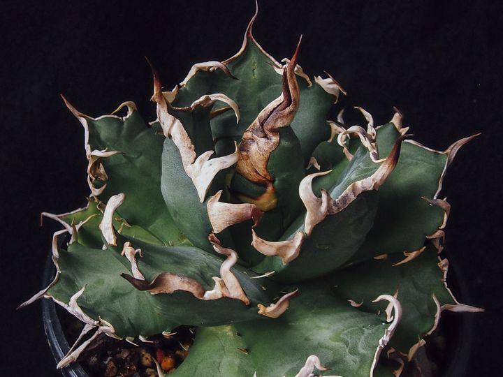 Agave titanota【Bone spines】