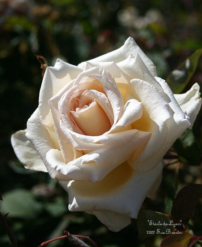 Tea Rose Etoile De Lyon Rosa Roses Rose Rose