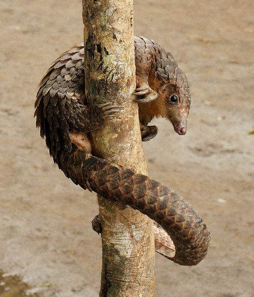 Tree Pangolin pole dance