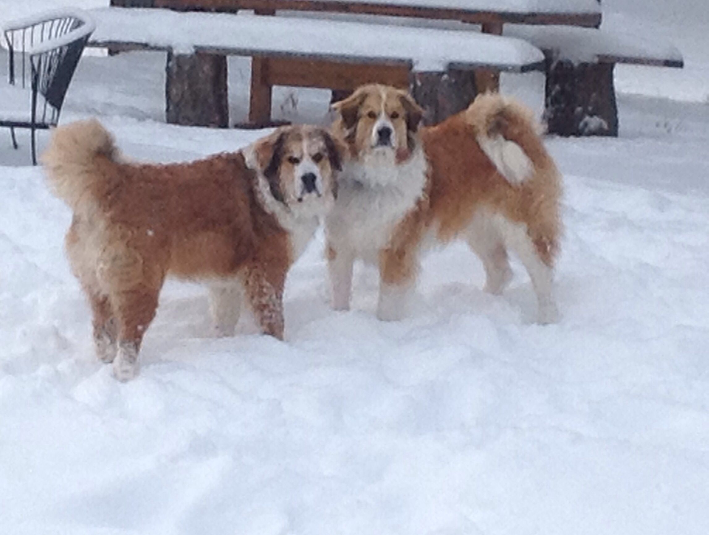 Copper and Ruby Great Pyr and Berner mixes. Oh those faces