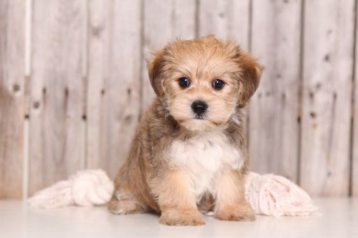 Morkie Puppy For Sale In Mount Vernon Oh Adn 51805 On