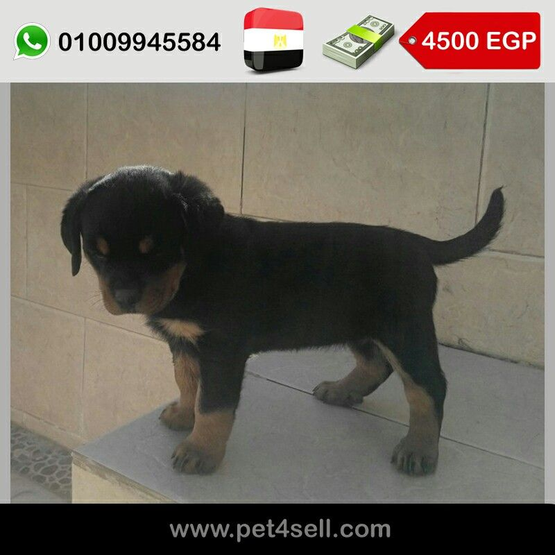 Egypt New Cairo Female Rottweiller Puppy For Sale It S 50 Days Old Imported Parents Pet4sell Puppies For Sale Puppies Dogs
