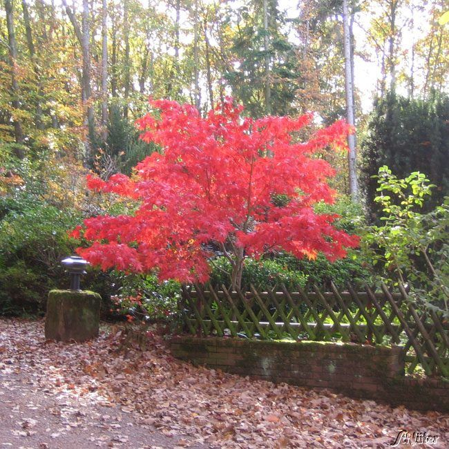 Japanischer Fächerahorn Osakazuki Acer Palmatum
