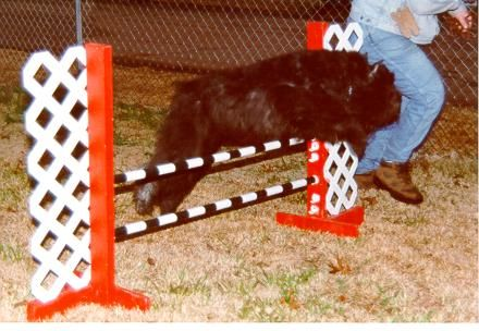 Bouvier des Flandres jupming in Agility competition