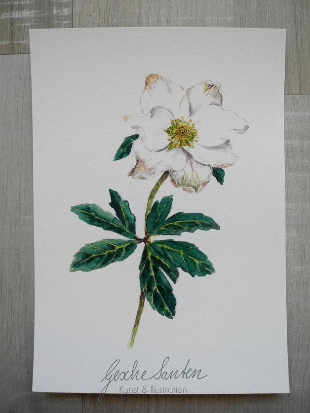 Reproduktion Aquarell   Christrose   Natur skizze, Art ...