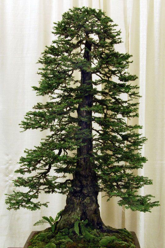 Bonsai Redwood Tree 13
