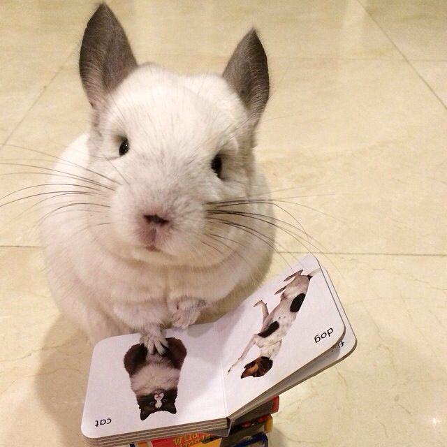 White chinchilla reading a book
