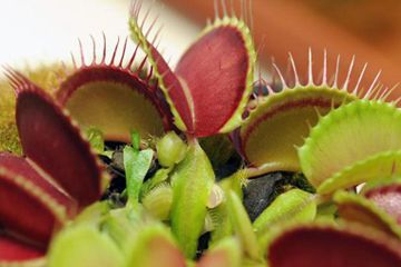 Facts About Venus Flytraps