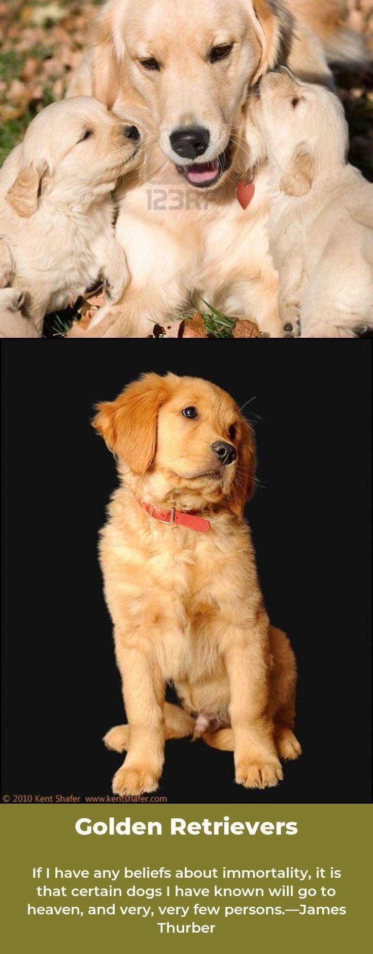 Golden Retriever Puppies Goldenretrievertee