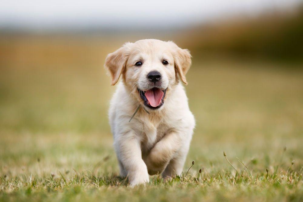 Rocky Golden Retriever Puppy For Sale In Shippensburg Pa