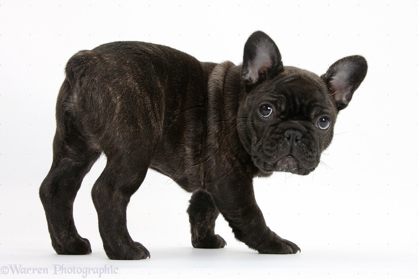 Brindle French Bulldog WP35755 Dark brindle French