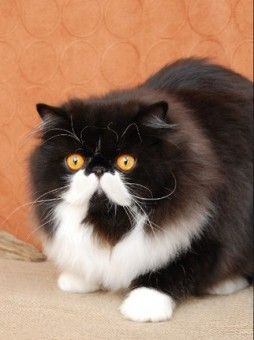 bi-color persian cat...I want a cat with moustaches!
