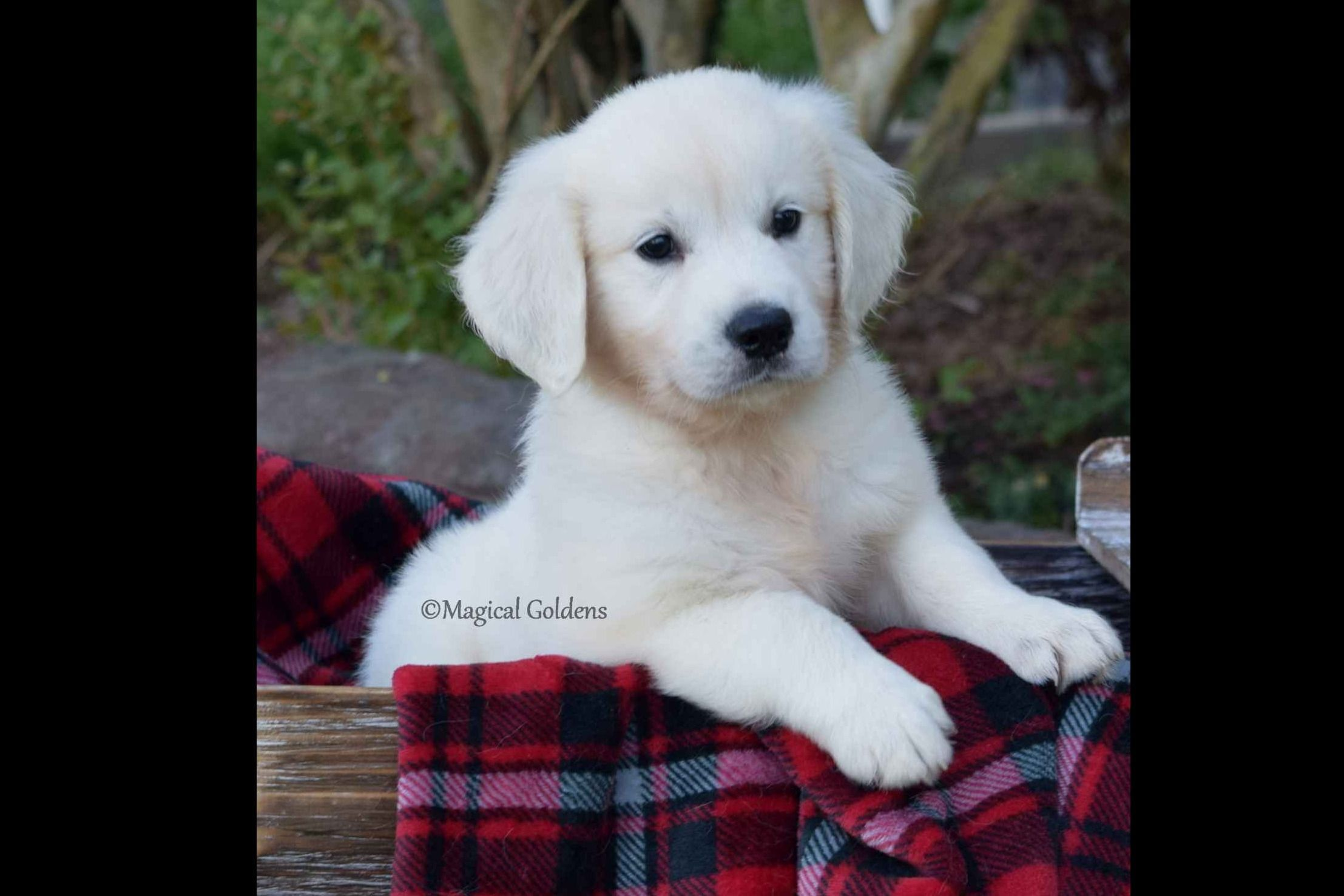 Magical Goldens Has Golden Retriever Puppies For Sale In Prim Ar On Akc Puppyfinder Golden Retriever Retriever Puppy Puppy Training