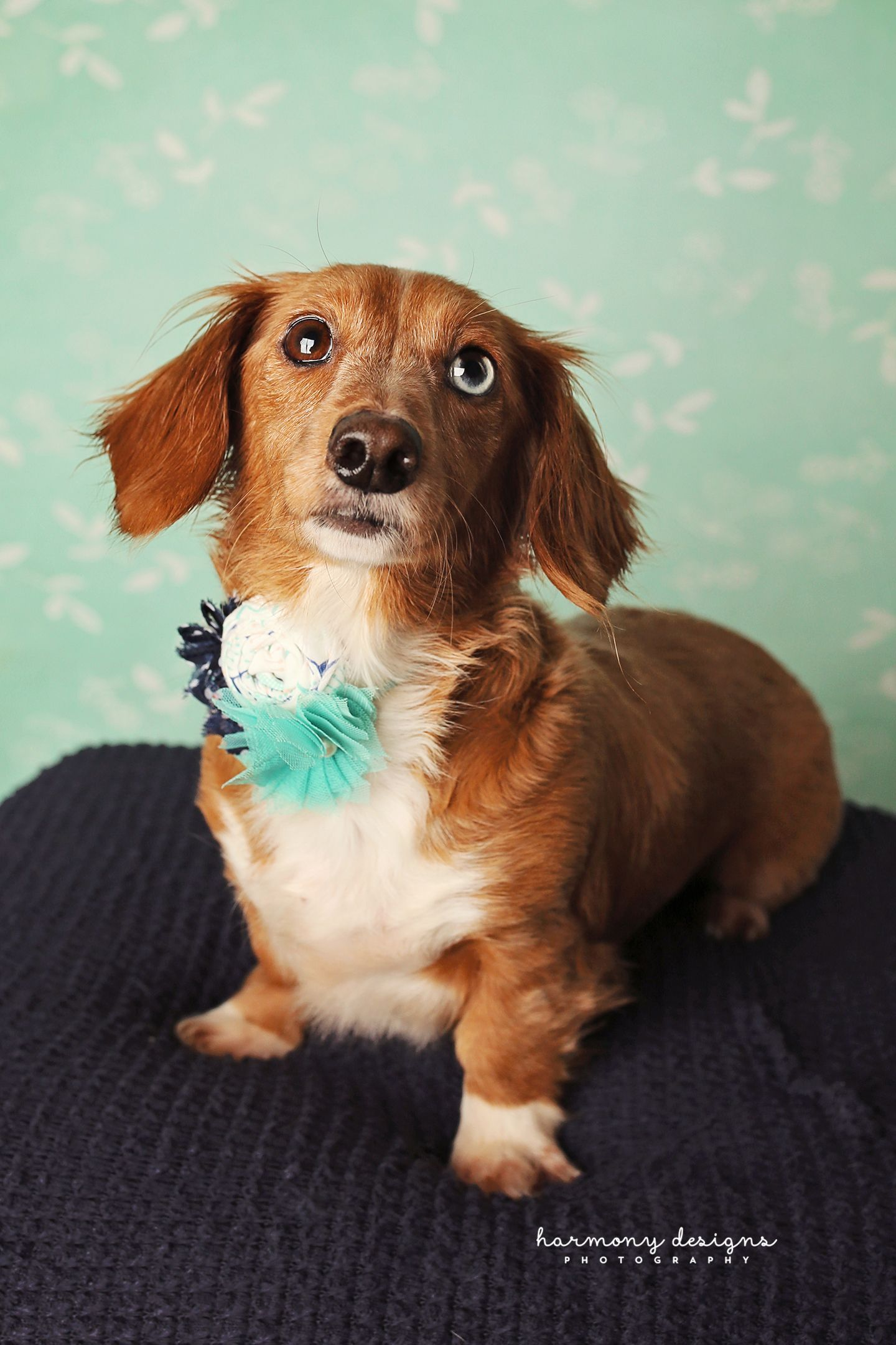 Bella Lynn Is An Adoptable Dachshund Searching For A Forever
