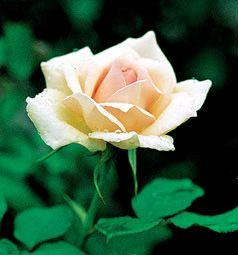 Antoine Rivoire - Rose 521 - The Antique Rose Emporium