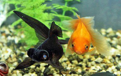 Black Fantail Goldfish