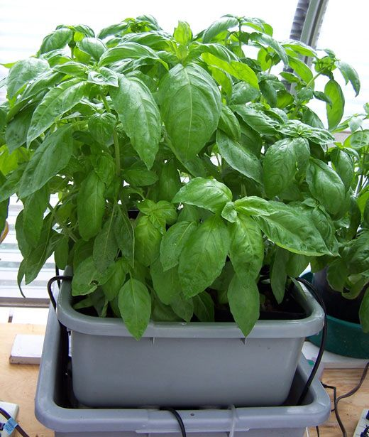 Hydroponic Basil Growing In A Small Ebb And Flow Or