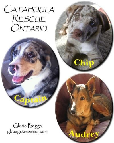 Get To Know Catahoula Rescue Inc Ontario With Images Dog Rescue Groups Catahoula Dog Sounds
