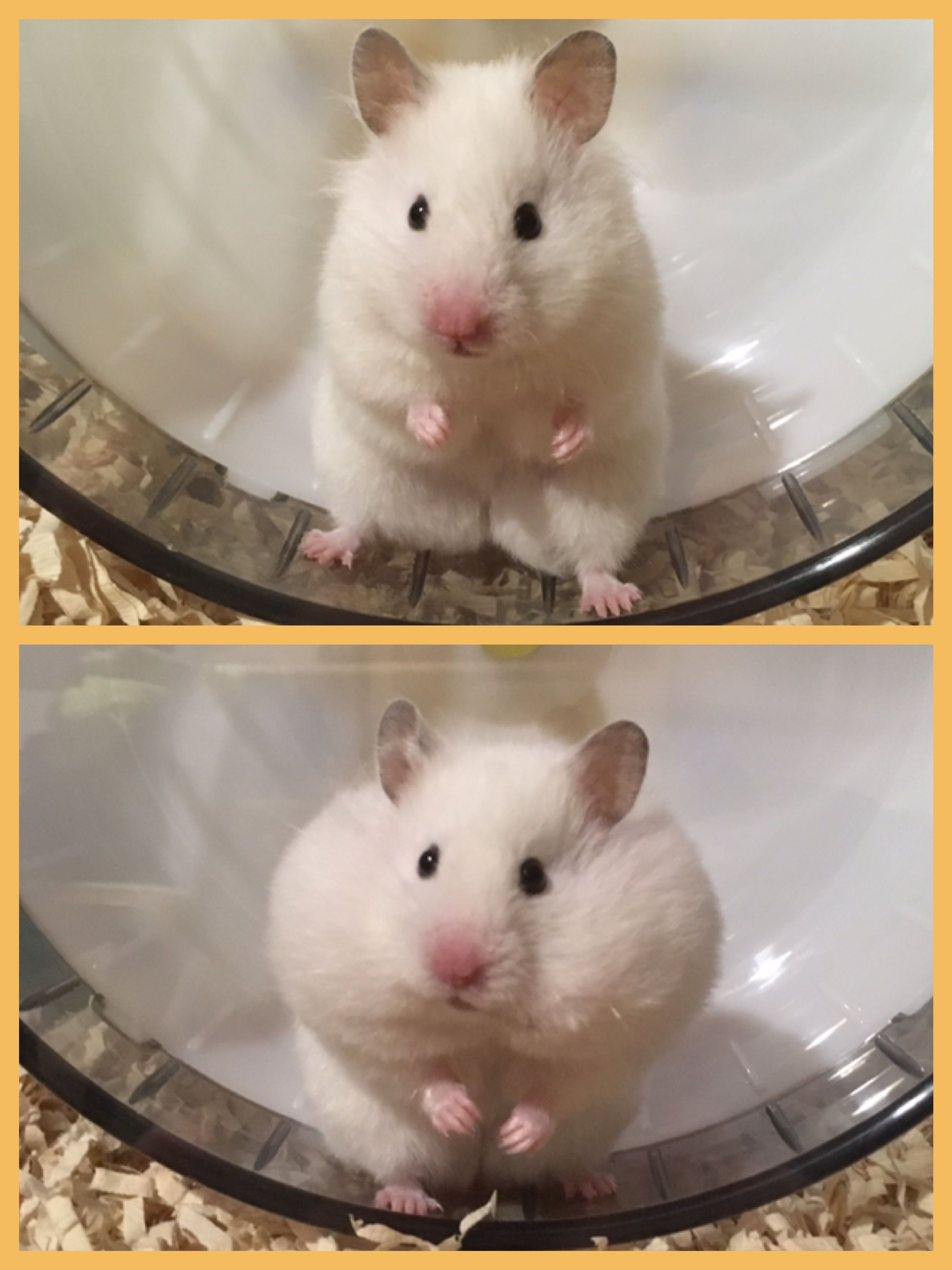 Before After Cute Hamsters Funny Hamsters Super Cute Animals