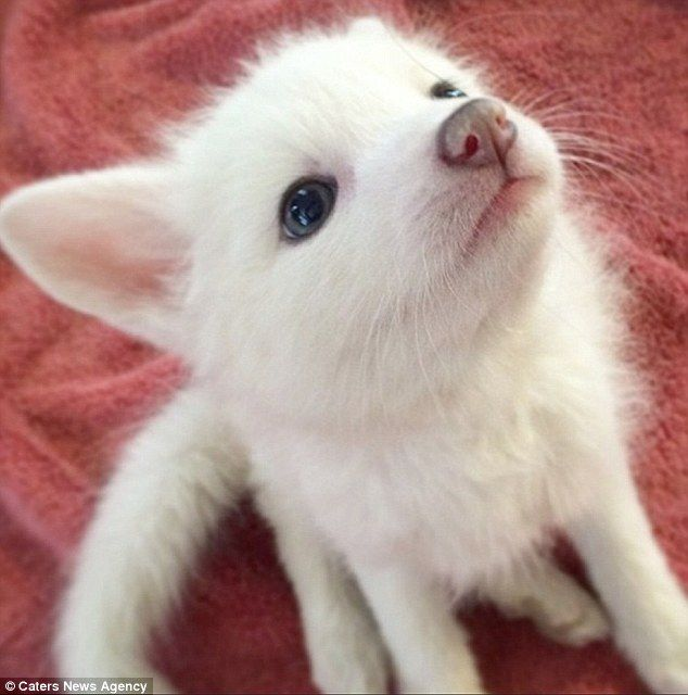 Meet The Two Month Old White Marble Fox Cub Who Thinks She