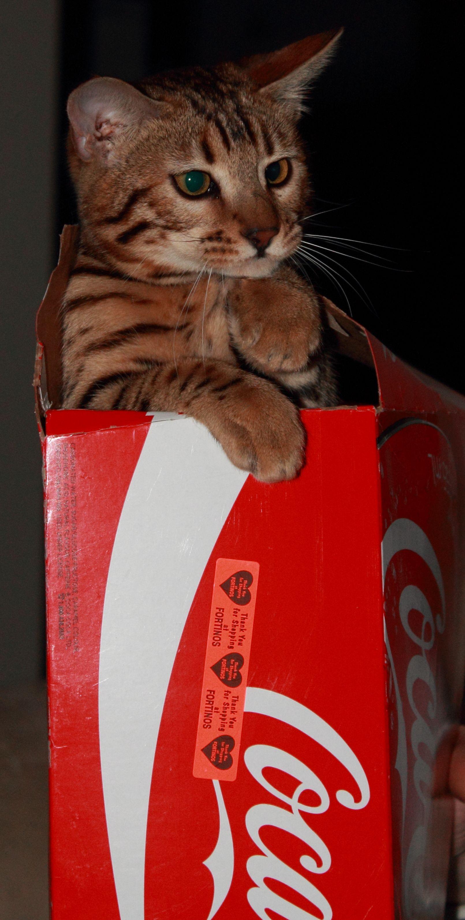 """Our baby #Bengal """"Farrah"""" :) #cat"""