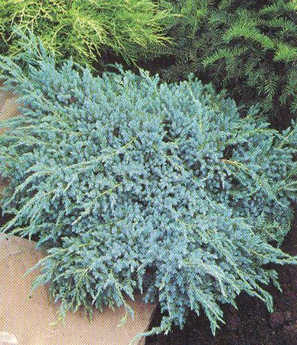 Juniperus Squamata Blue Carpet Cupressaceae Trees