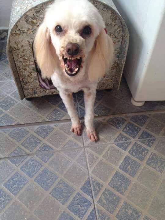 Caniche Perros Cachorros Animales Perros
