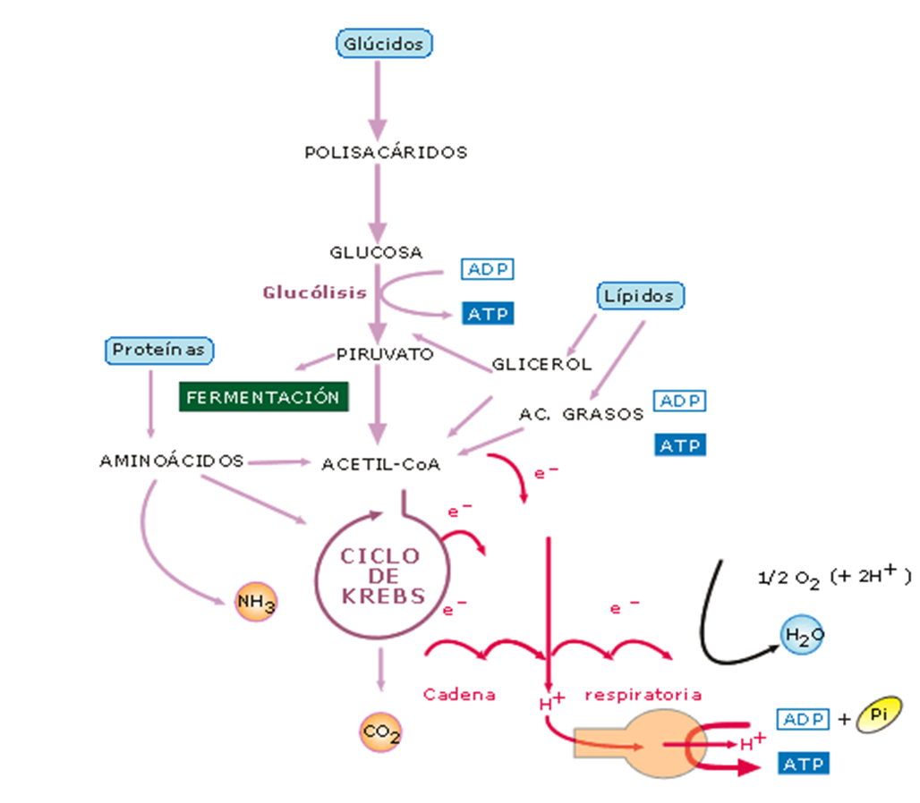 Glucolisis. Ciclo de Krebs | Medicine | Pinterest | Ciclo de krebs ...