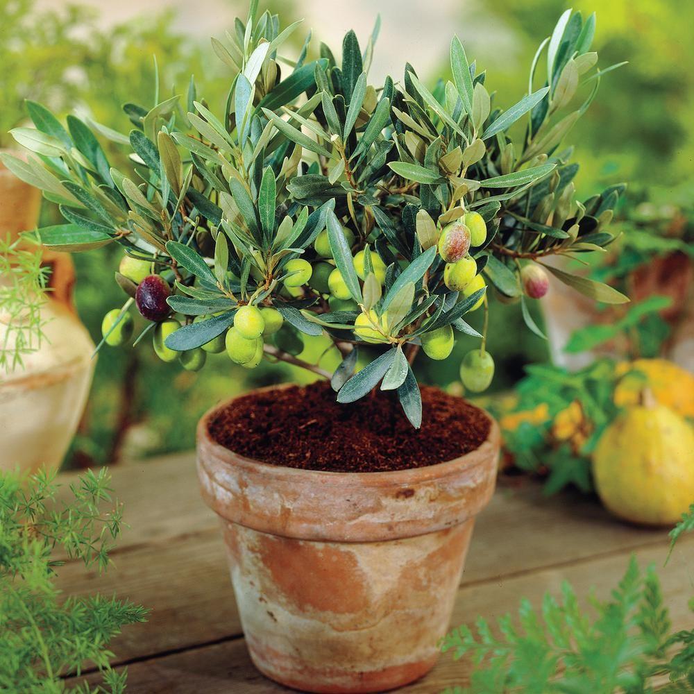 Arbre En Pot Hiver gurney's 3 in. pot green olive which ripen black