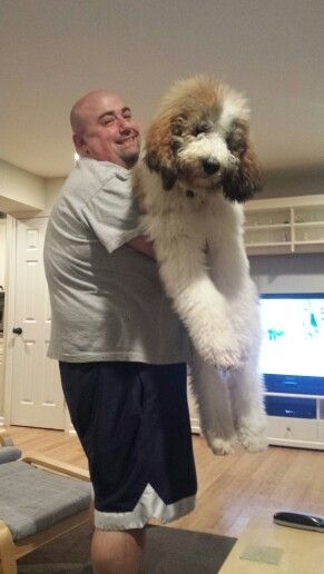 Chicky 5 Months St Berdoodle With Images Bernedoodle