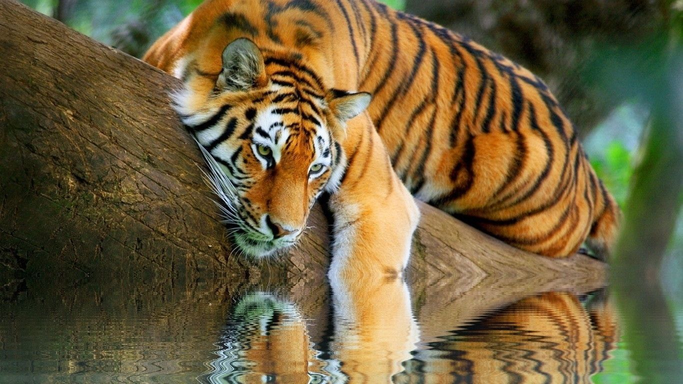 Wallpaper Tigers Pictures
