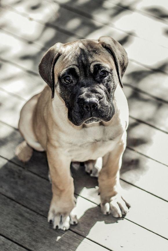 Bullmastiff Pup Cutest Paw Mastiff Puppies Most Beautiful Dog
