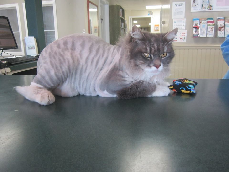Cooper was in to see our hair stylist recently - we think he looks like a white tiger now! (July 10, 2014)