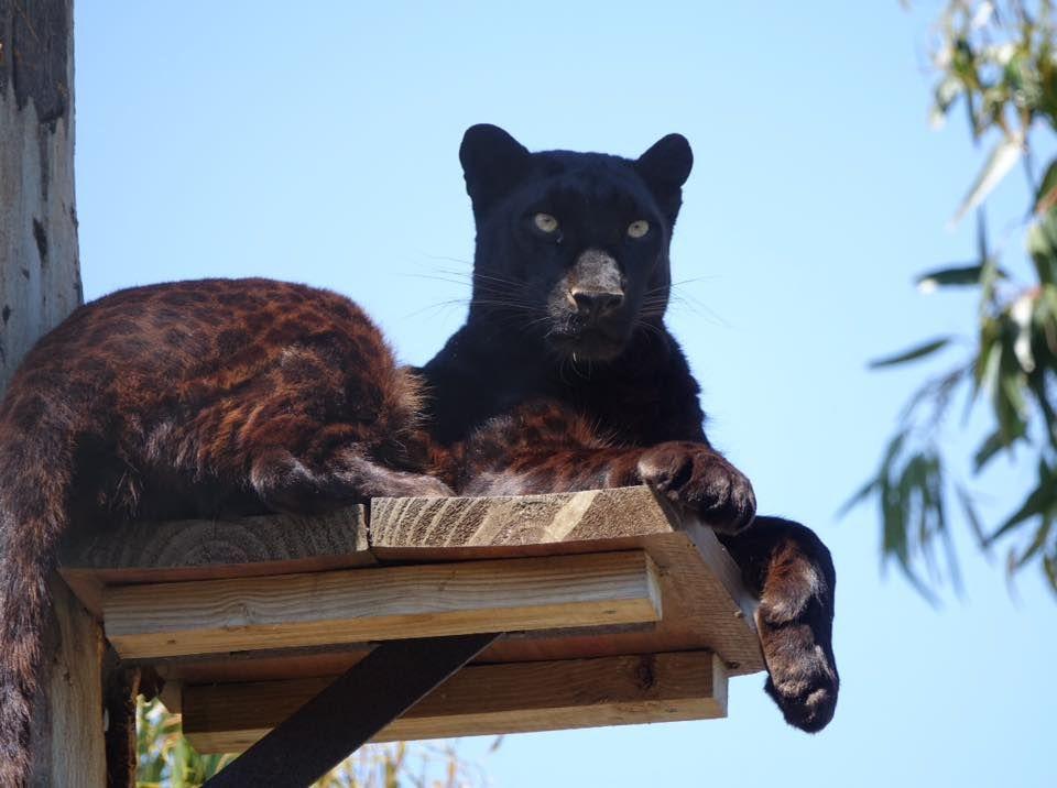 Pardus The Black Leopard Who Lives At Panthera Africa Big Cat Sanctuary Cat Sanctuary Wild Cats Big Cats