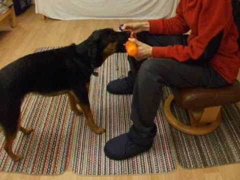 Clicker Training A Bird Dog Retrieve Part 1 Shaping And Chaining