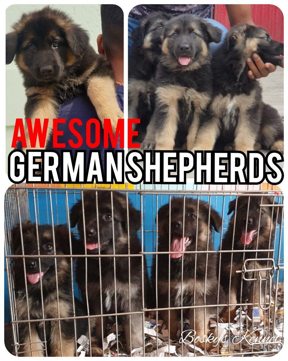 German Shepherds From Boskys Kennel German Shepherds 3months 1