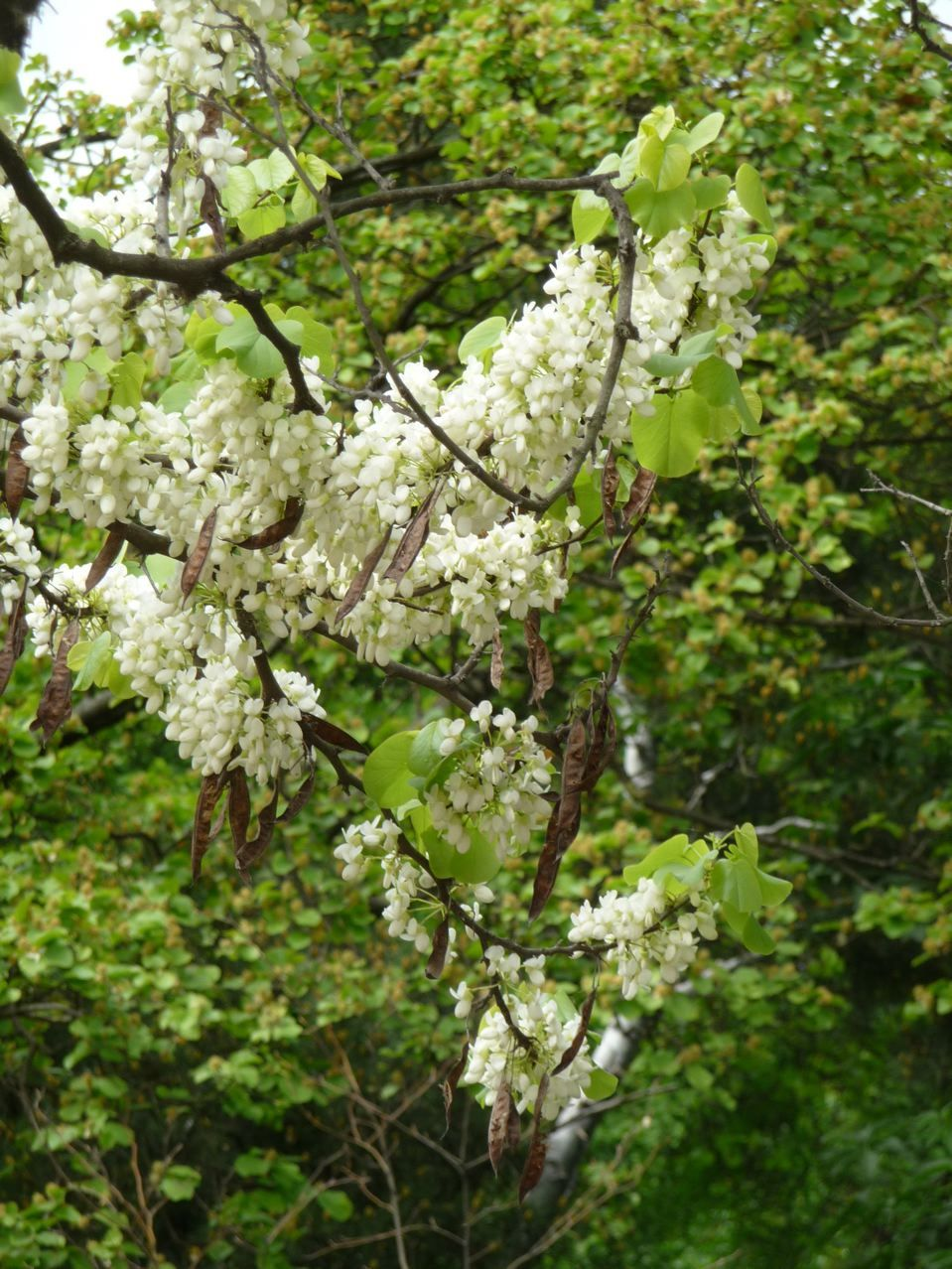 arbre de jud e floraison blanche cercis siliquastrum 39 alba 39 jardin des plantes de paris. Black Bedroom Furniture Sets. Home Design Ideas