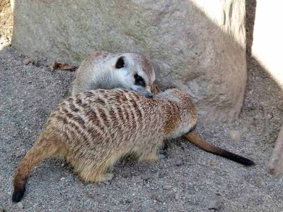 Vorbereitungen für einen Aquarellkurs im Schweriner Zoo | Erdmänchen im Schweriner Zoo (c) Frank Koebsch (3)