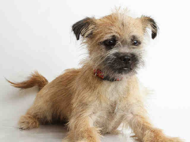 Lovables Chester Border Terrier Mix Up For Adoption At The