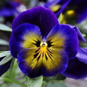 : Анютины глазки | Анютины глазки, Цветы, Фото цветов
